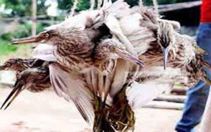 গোপালগঞ্জে চলছে অতিথি পাখি নিধনের মহোৎসব; হারাচ্ছে পরিবেশের ভারসাম্য : প্রশাসন নীরব